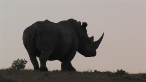 Rhino sunset.