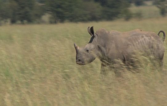 A Layman's Quest for the Logic Behind Opposition to Legalising Trade in Rhino Horn- Jane Wiltshire PhD, MBA, BSc