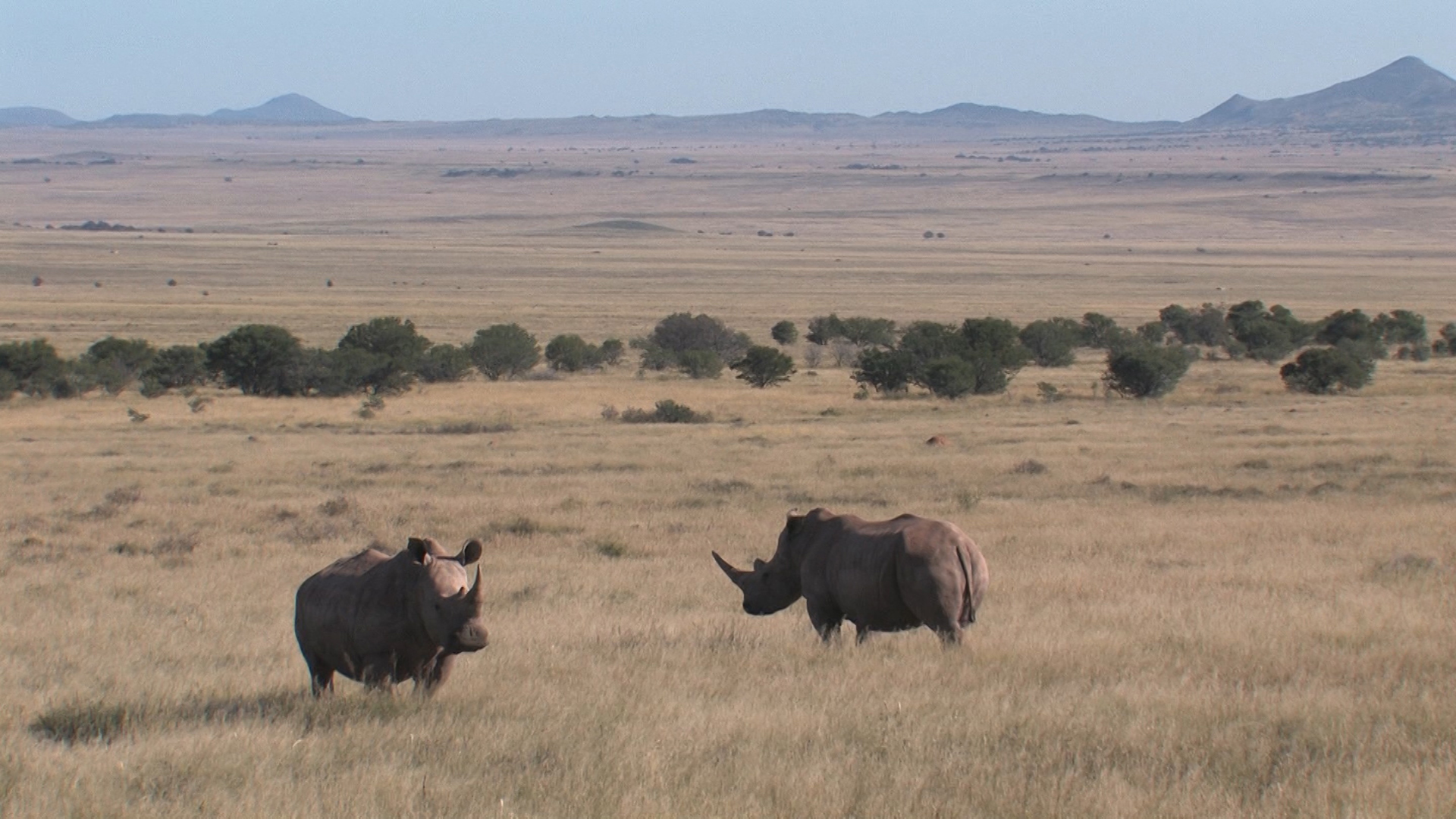 Rhino Crisis-Ted Reilly.