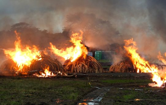 Ivory – To burn or not to burn? by Chris Huxley
