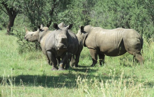 Regulating the Domestic Trade in Rhino Horn in South Africa. By Ian Cox.