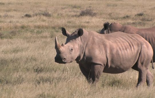 The White Rhino Population In South Africa: Some Speculative Observations. By David Cook and Bugs van Heerden.