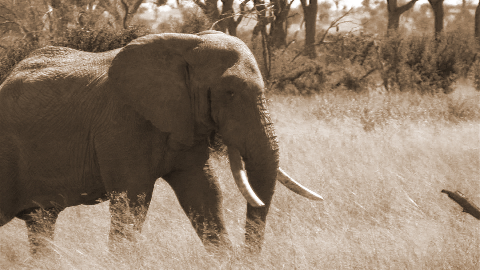 Benefits to Elephant Conservation From Safari Hunting.