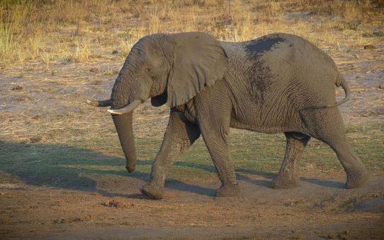 The Management of Elephants and Related Management Issues in the Kruger National Park. Part 1. By Dr. Salomon Joubert.