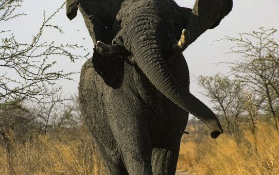 Botswana's Elephant Numbers Just Don't Add Up.